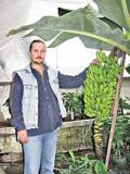 Бананы в теплице термосе